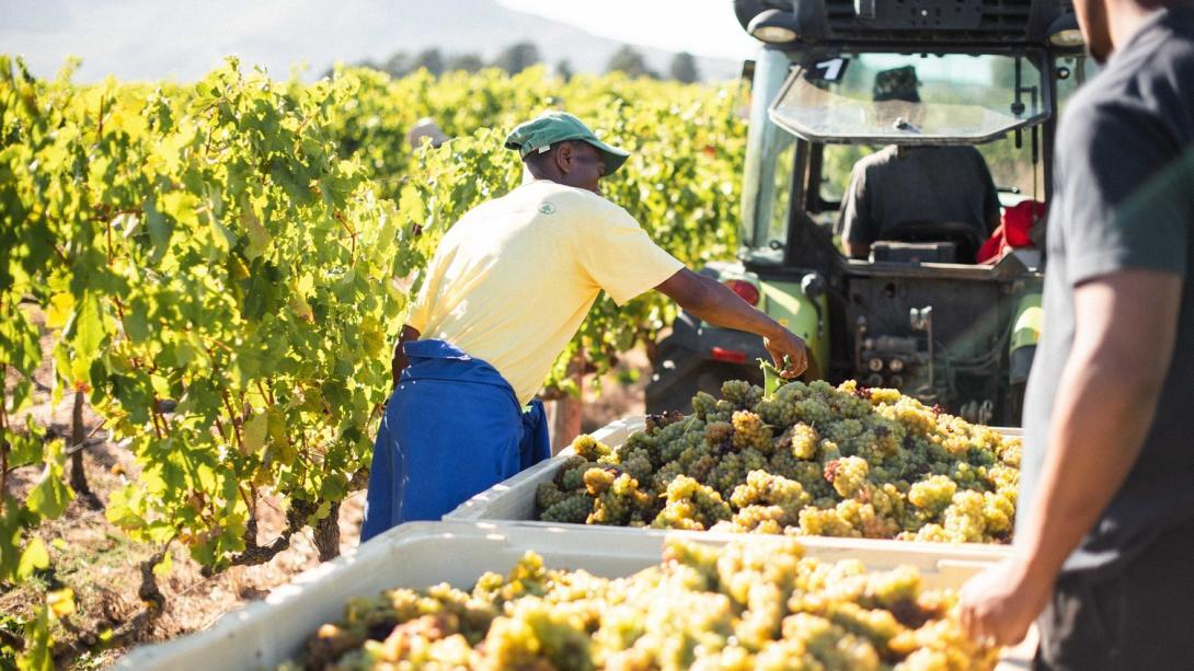 Arbetare på en vingård packar druvor som en del av vinproduktionen i Stellenbosch, Sydafrika.